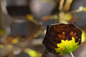 fallen leaf dying at end of summer